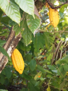 Cocoa tree in Jamaica